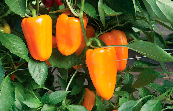 Как вырастить большой урожай болгарского перца самому