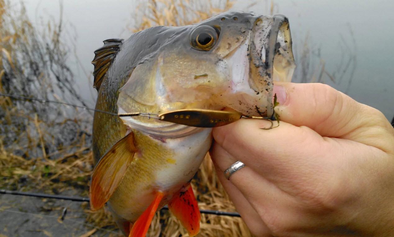 окунь летом рыбалка