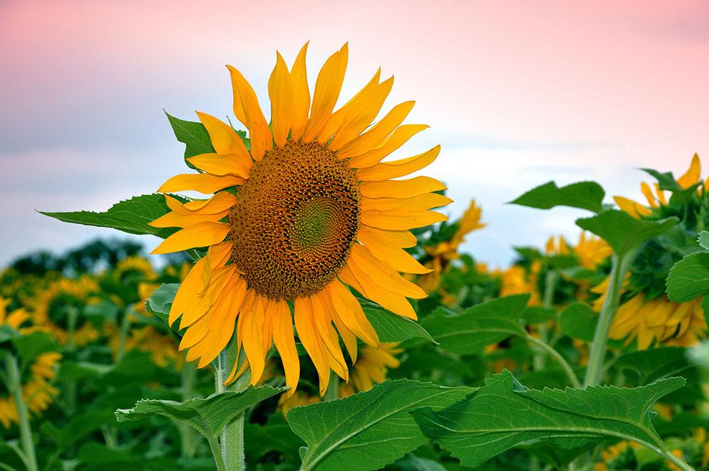 Целебные корни солнечного цветка