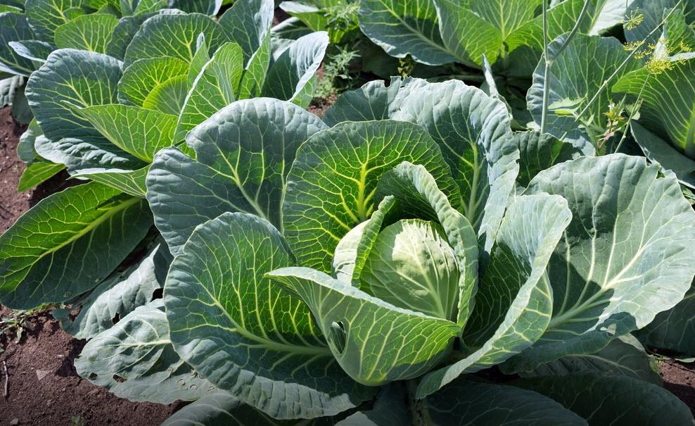 Выращиваем капусту без рассады - Преимущества безрассадного метода выращивания капусты