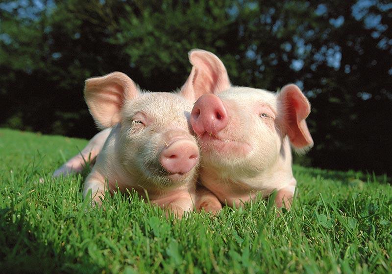 Чем кормить свиней: базовые полезные советы