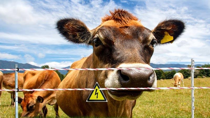 электрический пастух для коров