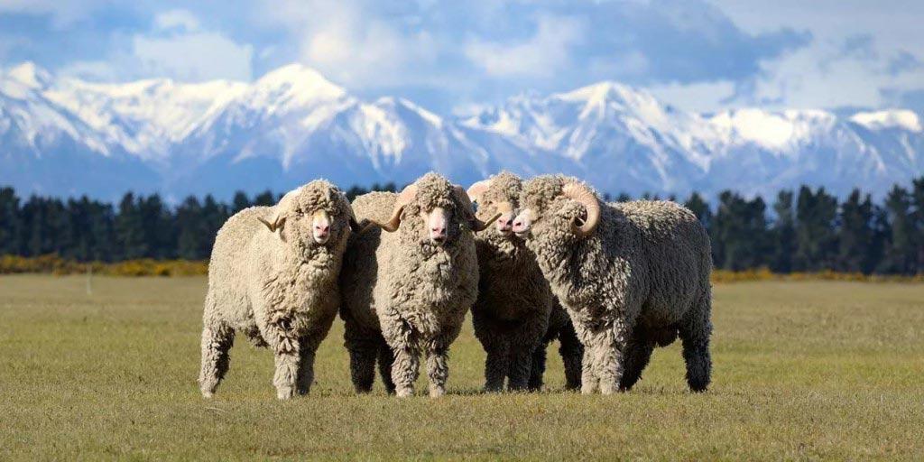 Овцы-мериносы