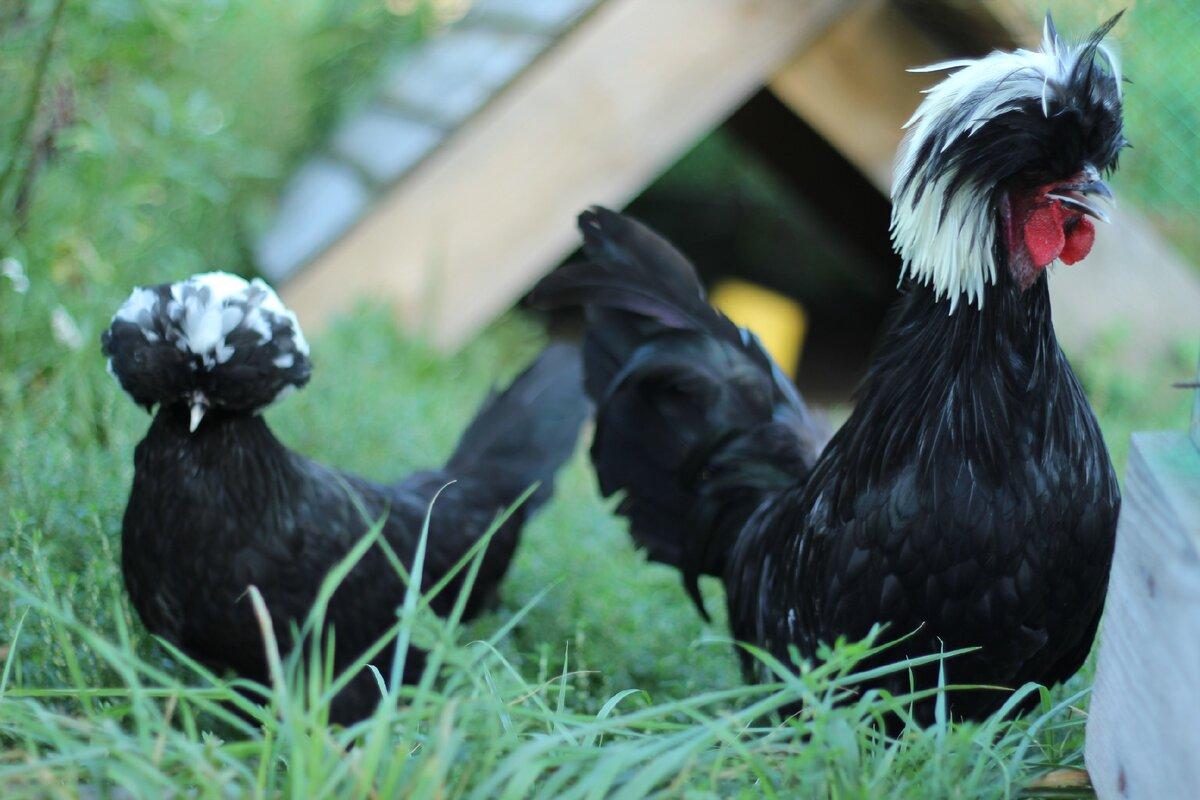 Голландская белохохлатая порода кур