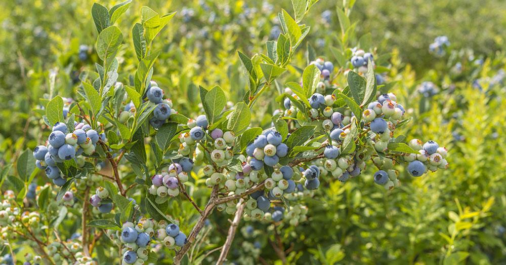 Здоровые ягоды голубики